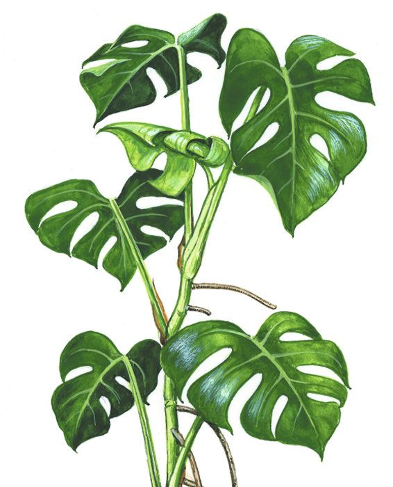 Watercolor Green Plants Monstera Nature Posters And Prints: Monstera - Google Search