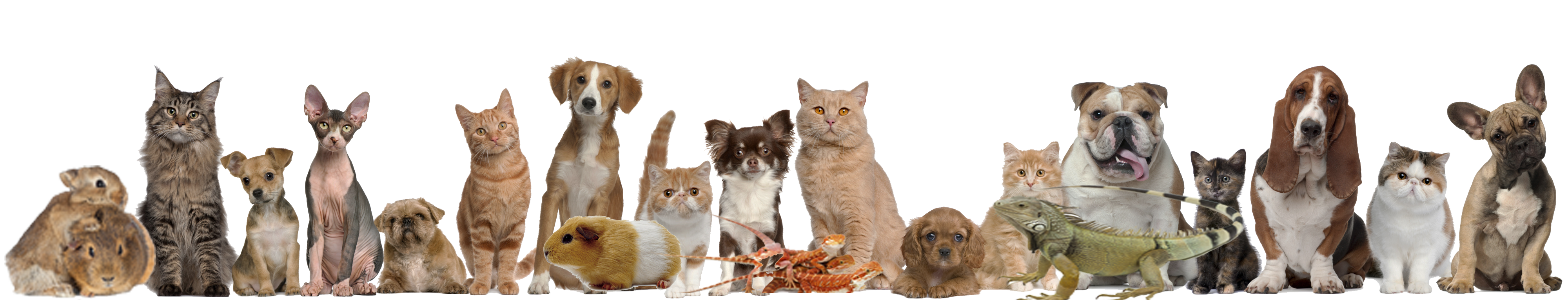 Buy And Sell New Or Used Pet Online Like Cat Dog Rabbit Parrot Etc On 100orless Classified Site In Toronto Gta Ontario Canada With Free Classifieds