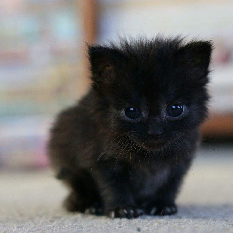 Tiny black kitten class pinterest animal cat and black