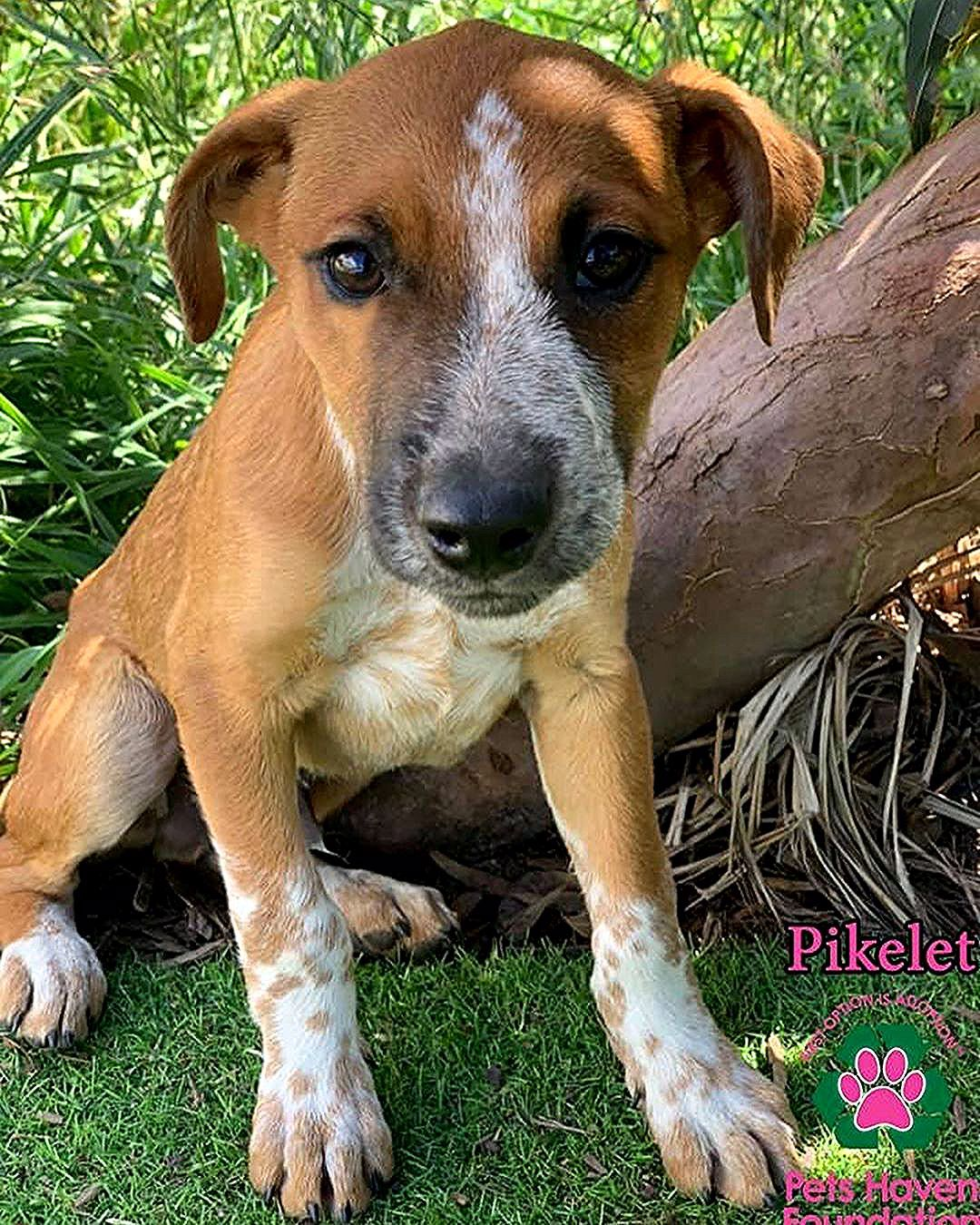 Meet Pikelet From 11am On Wednesday 11th December At Pets Haven Veterinary Clinic 302 304 Canterbury Rd Bayswater Nth In 2020 Australian Cattle Dog Pets Animals