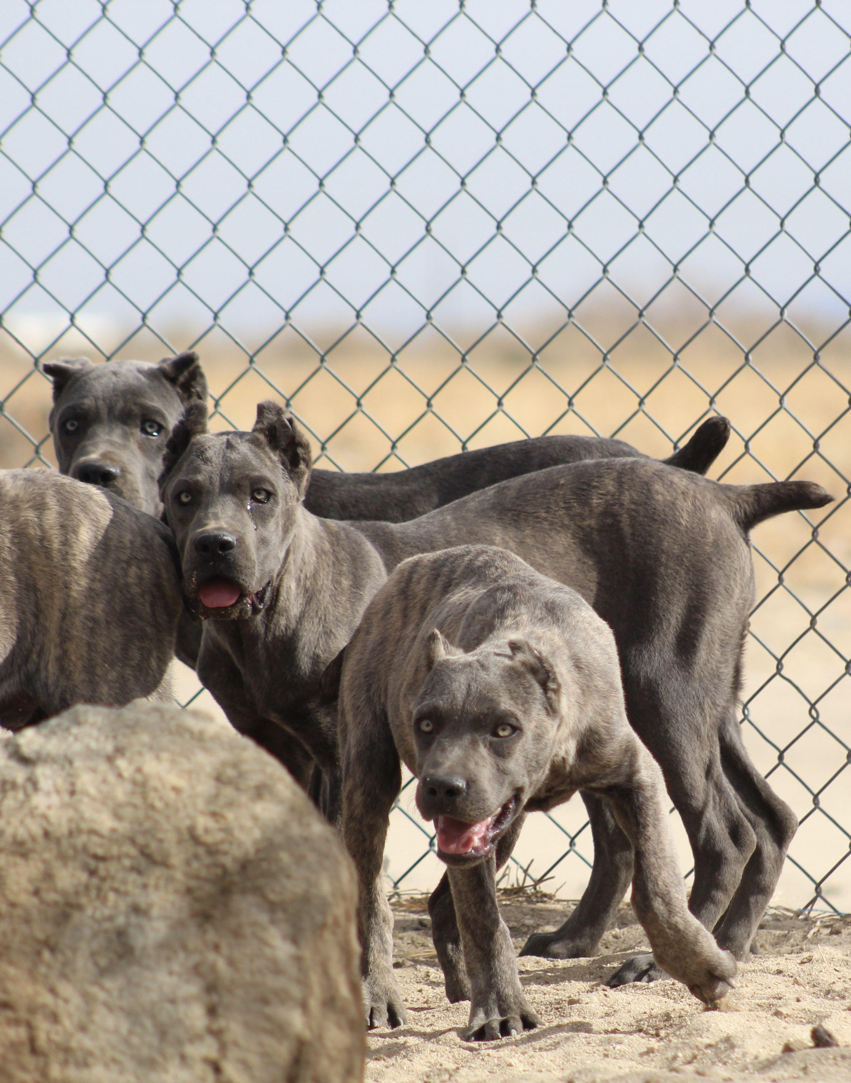 Blue Cane Corso Puppies Sakennel Cane Corso Cane Corso Puppies Corso Dog