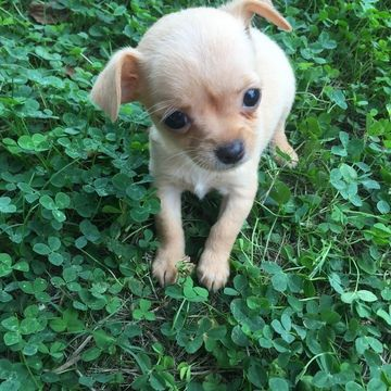 Chihuahua Puppy For Sale In Houston Tx Adn 35396 On Puppyfinder