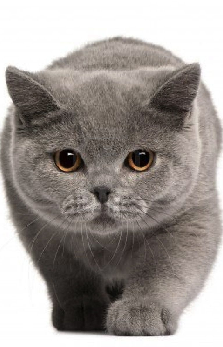 Blogs De Gatos British Shorthair Kittens American Shorthair Cat Cats And Kittens