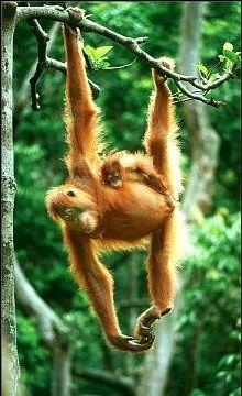 Orang-utan in Leuser National Park. Sumatra Indonesia. Bohorok Orangutan