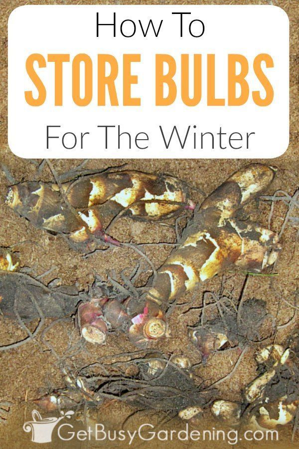 How To Store Bulbs For The Winter #elephantearsandtropicals