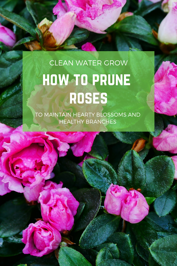 How To Prune Roses Pruning Roses Rose Bush When To Prune Roses