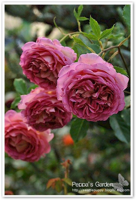 English Rose 'Jubilee Celebration'   Peppa's Garden
