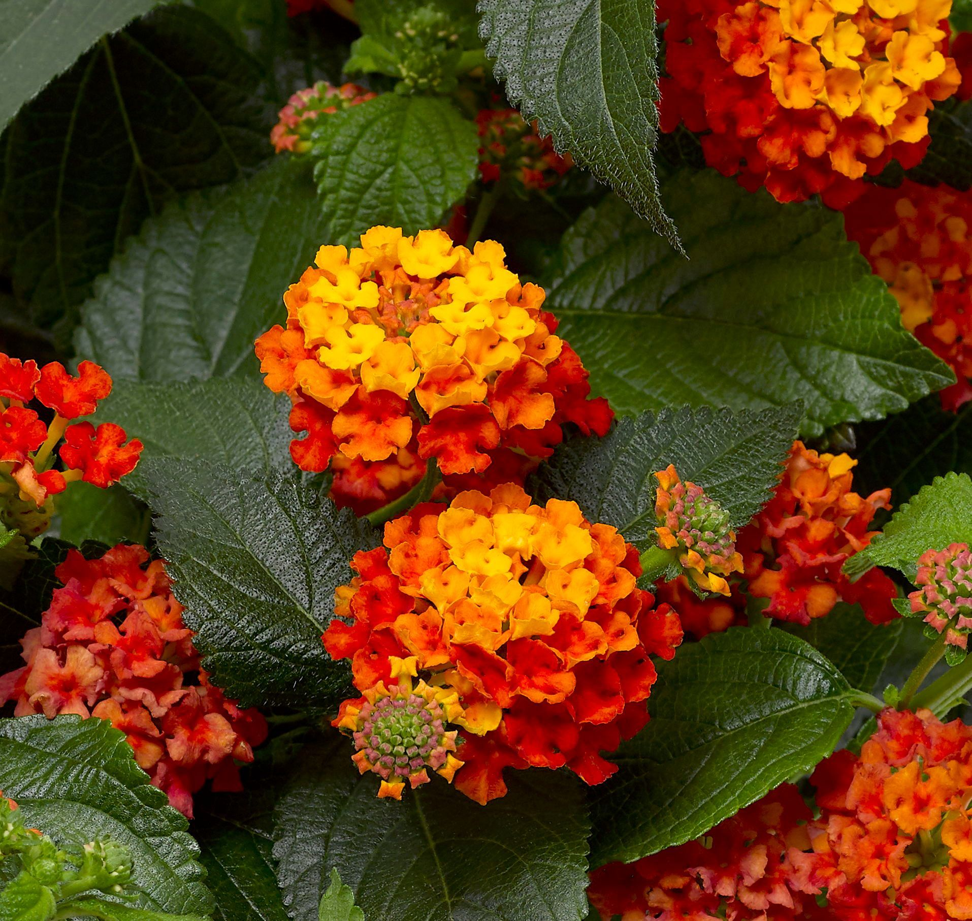 Year Of The Lantana National Garden Bureau In 2020 Pollinator Garden Lantana Lantana Plant