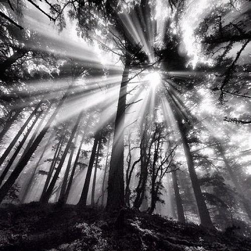 Sunlight Through Trees Black And White