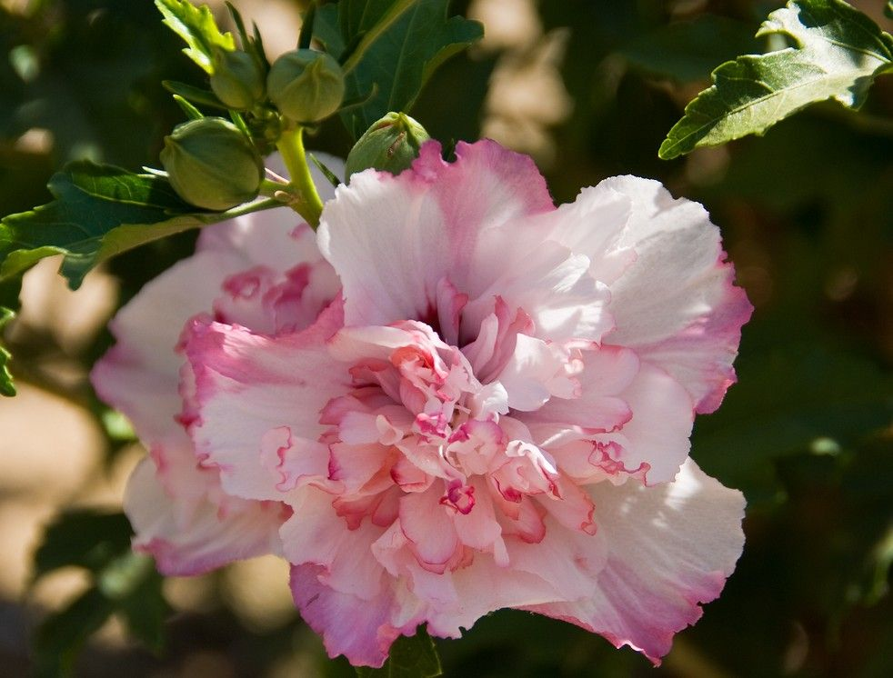 This New Rose Of Sharon Althea Will Definitely Spice Up The Blooming Shrub Bed Its Double Flowers Appearing Kind Of L Rose Of Sharon Hardy Hibiscus Hibiscus