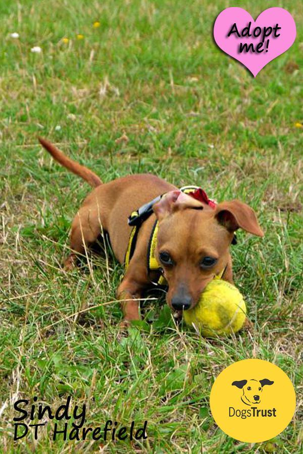 Sindy Is A Sweet Girl That Is Gaining In Confidence Since She Came To Us Due To Sindy Being Small Lots Of People Want To Dogs For Adoption Uk Dogs