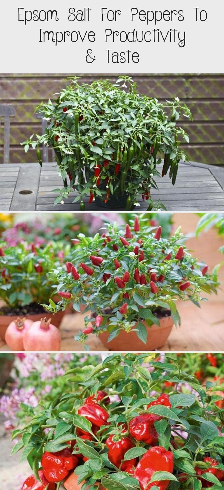 Epsom Salt For Peppers To Improve Productivity Taste In 640 x 480