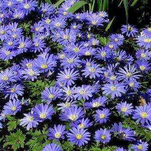 Anemone Blanda Blue Shades 20 Flower Bulbs By Bulbsdirect 4 95 Suitable For Rockery Gardens Spreads Over The Yea Bulb Flowers Shade Flowers Growing Bulbs