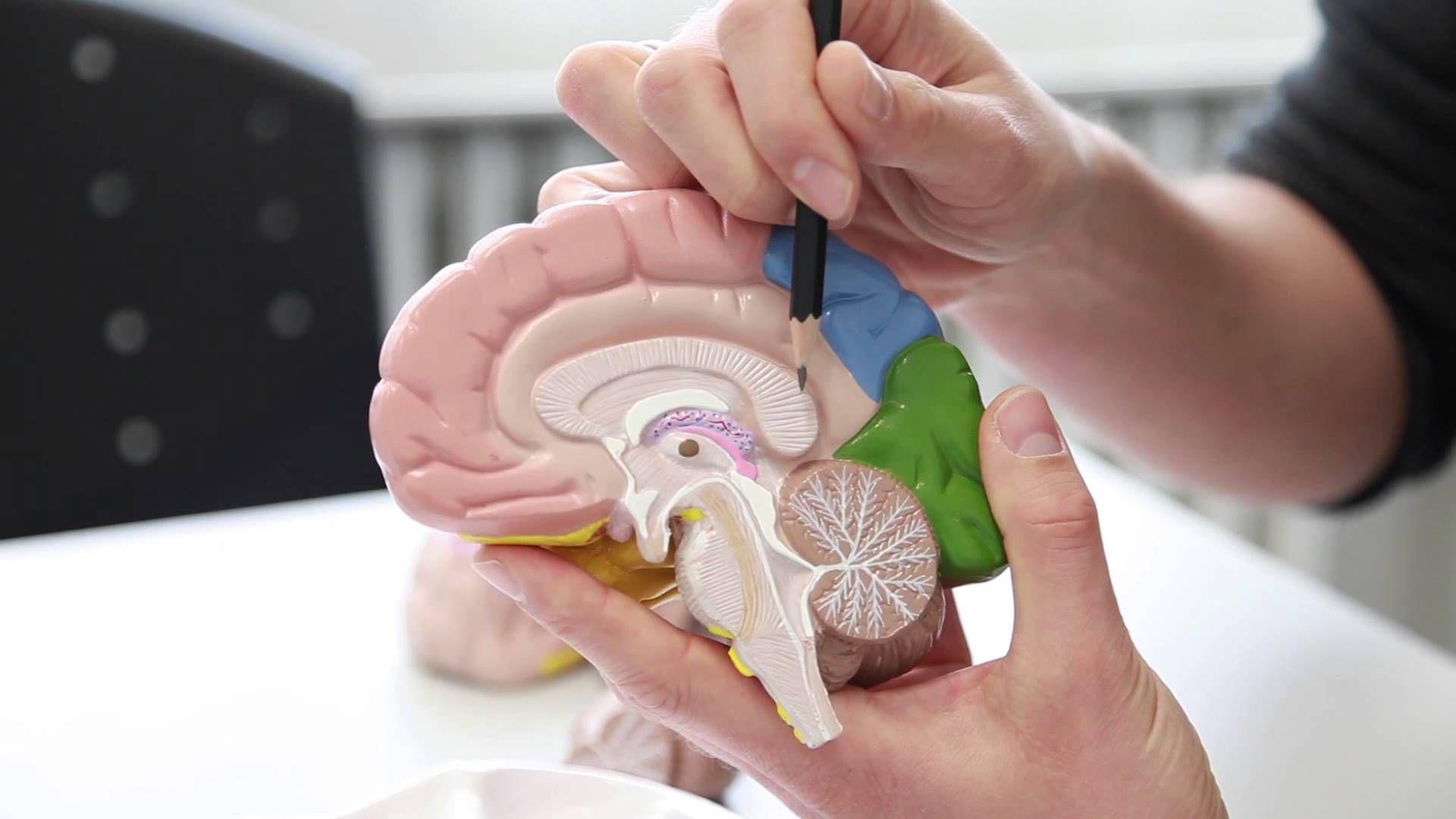 Aufbau und Funktion des menschlichen Gehirns | Gehirn | Pinterest ...