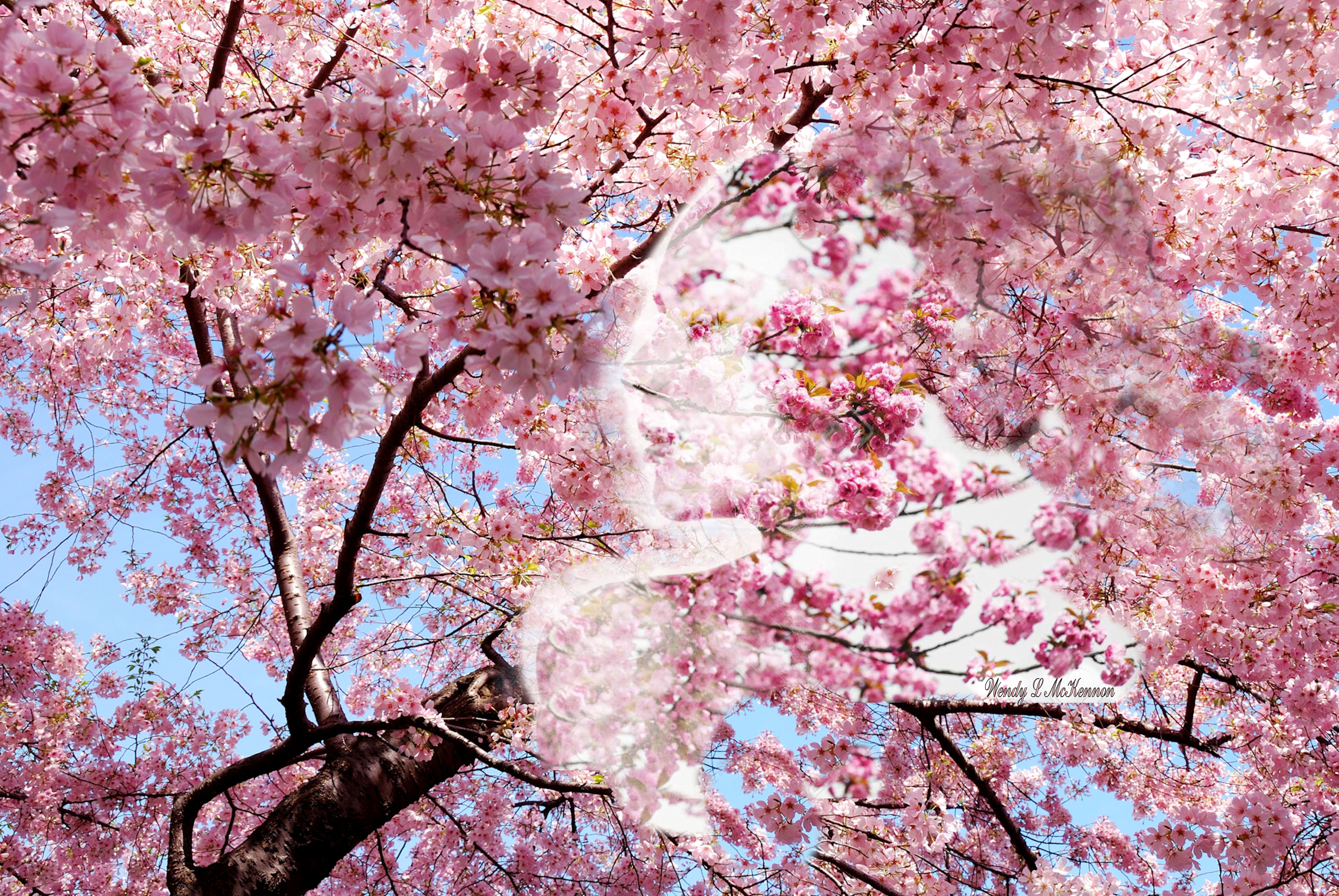 Cherry Blossom Girl Cherry Blossom Background Cherry Blossom Tree Flowering Cherry Tree