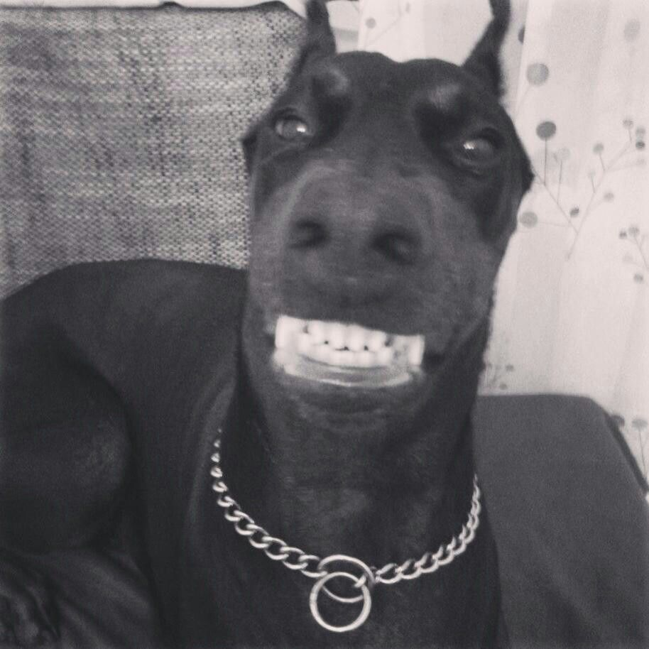 Lol Nothing Like A Dobermann Smile With Images Doberman