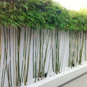 Planting for privacy bamboo use clumping varieties and - Jardineras con bambu ...