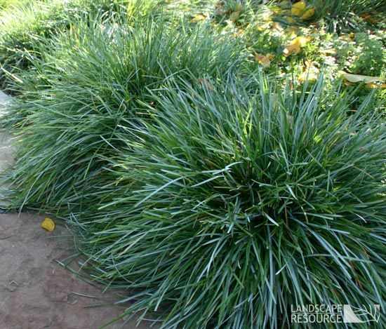 Sesleria caerulea blue moor grass evergreen clumping for Blue fountain grass