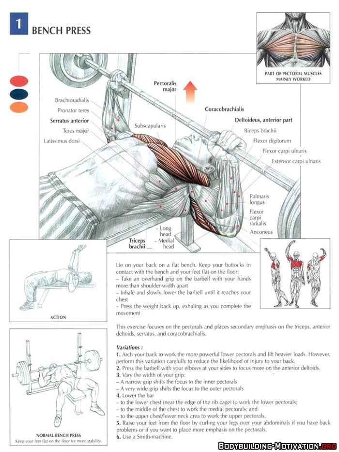 Training Anatomy - Chest - Bench Press | arnold | Pinterest ...