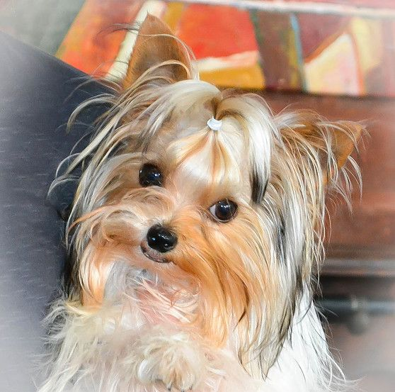 Teacup & Parti Colored Yorkies for Sale in TN Northshore