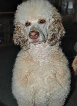 Girls Of Snow Creek Ruby Silverbeige Sable Brindle Poodle