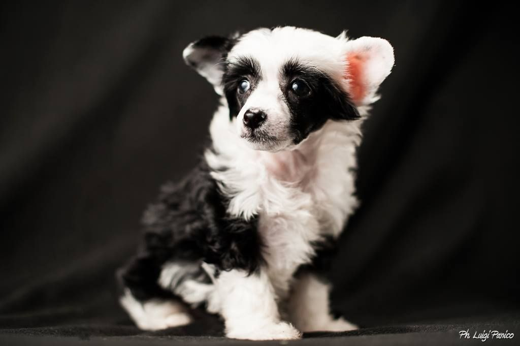 A Chinese Crested Powder Puff ... * Aymee * by Lupavaro/Adero-Lederdesign
