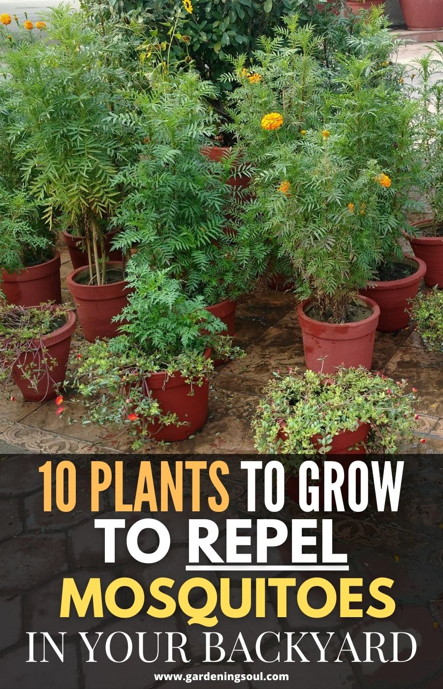 10 Plants to Grow to Repel Mosquitoes in Your Backyard