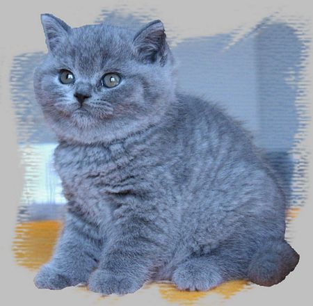 Visit Silverbrook British Shorthairs Cattery Website Www Absolutelycats Com 23britishshorthair Html British Shorthair Cats Cat Breeder British Shorthair