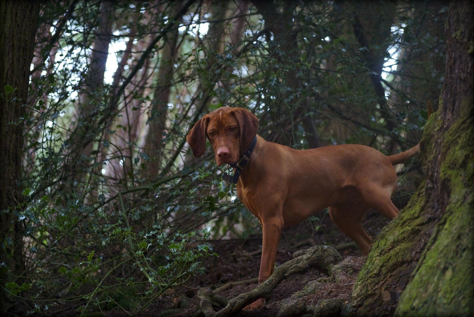 Vizsla In The Woods Vizsla Dogs Most Beautiful Dog Breeds Vizsla