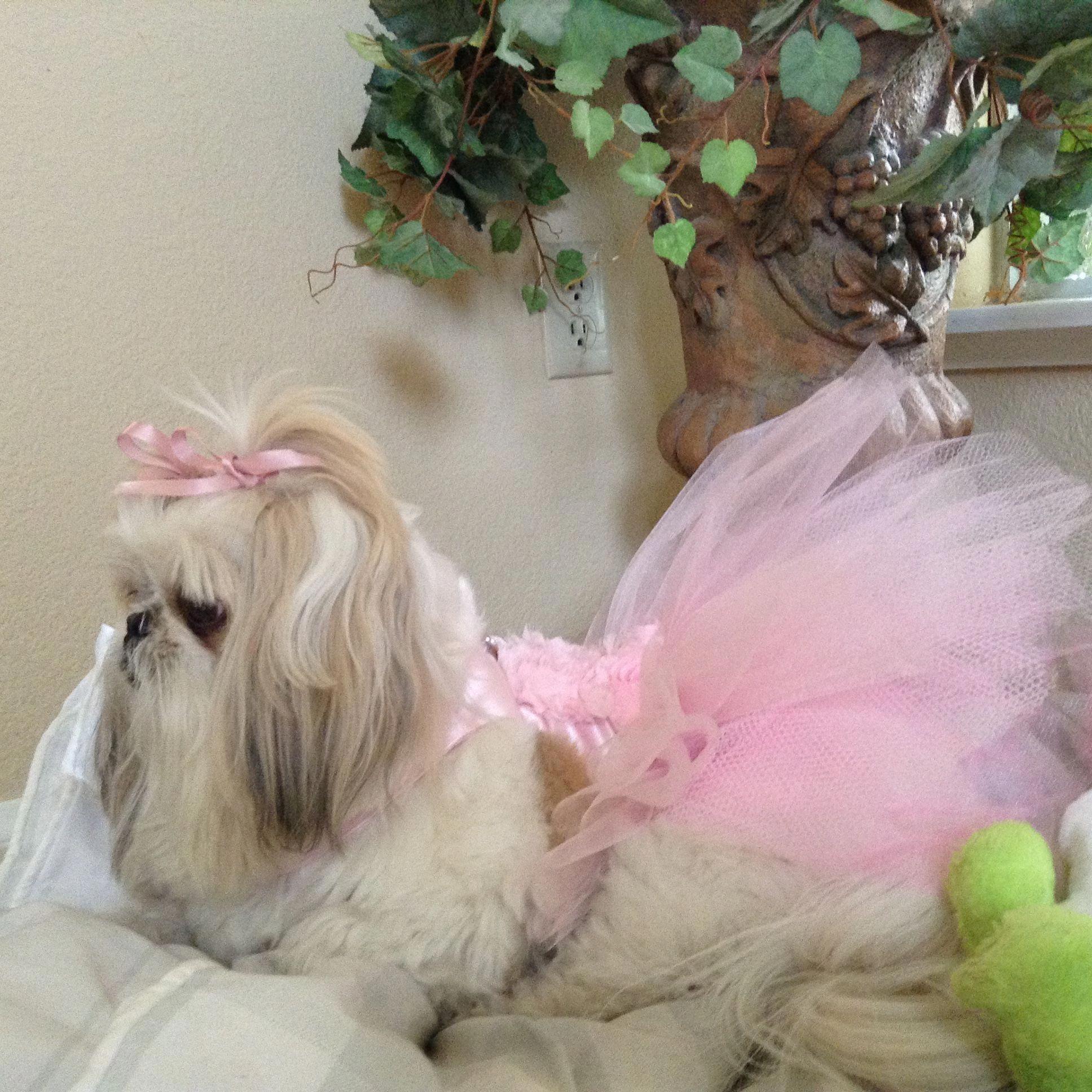 Shih Tzu Princess Shihtzupuppy Shih Tzu Shih Tzu Puppy Shih