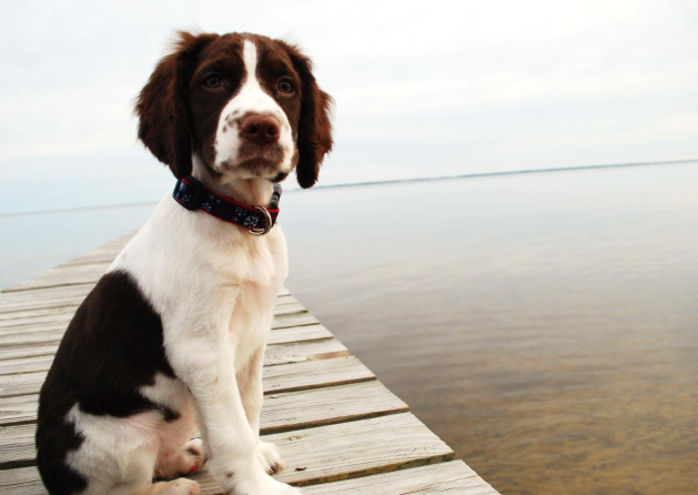 The 30 Most Intelligent Doggies English Springer Spaniel Springer Spaniel Puppies Springer Spaniel