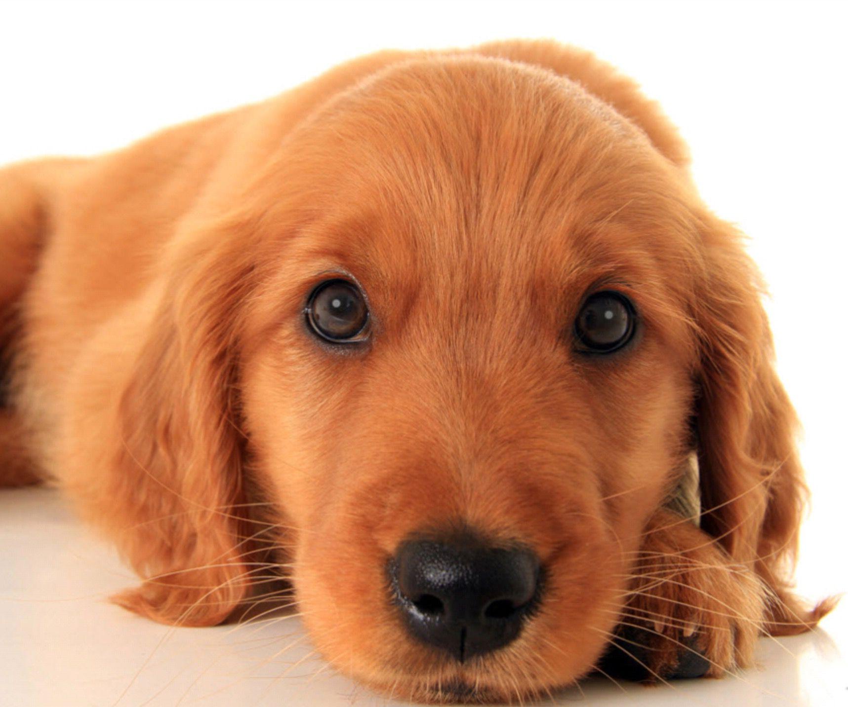 Golden puppy L O V E ♥️ Emotional support animal