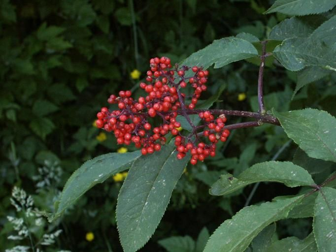 Wild Berries Of Sharingwood There Are 18 Species Of Plants Which Produce A Berry Plants Berries Wild Berry