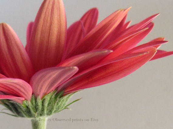 Gerbera Daisy Original Print By Beauty Observed By Beautyobserved 12 00 Gerbera Daisy Gerbera Pink Gerbera