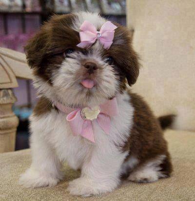 Socute Puppy Dog Shih Tzu Shitzu Dogs Puppies And Kitties