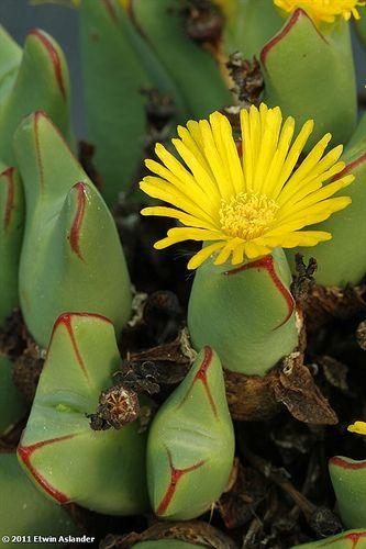 100 semillas Conophytum obcordellum /'picturatum/' W Clanwilliam