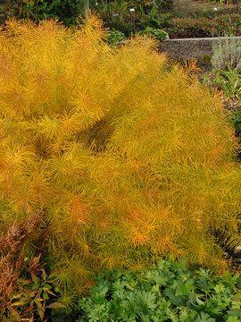 Amsonia Hubrichtii Arkansas Blue Star Plants Perennials