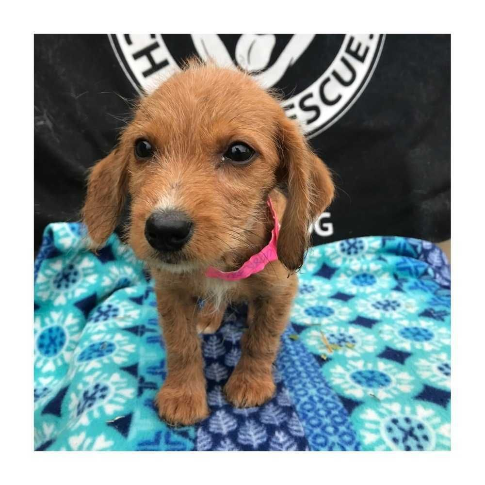 Adopt Yara On Baby Dachshund Dog Adoption Pee Pad Training