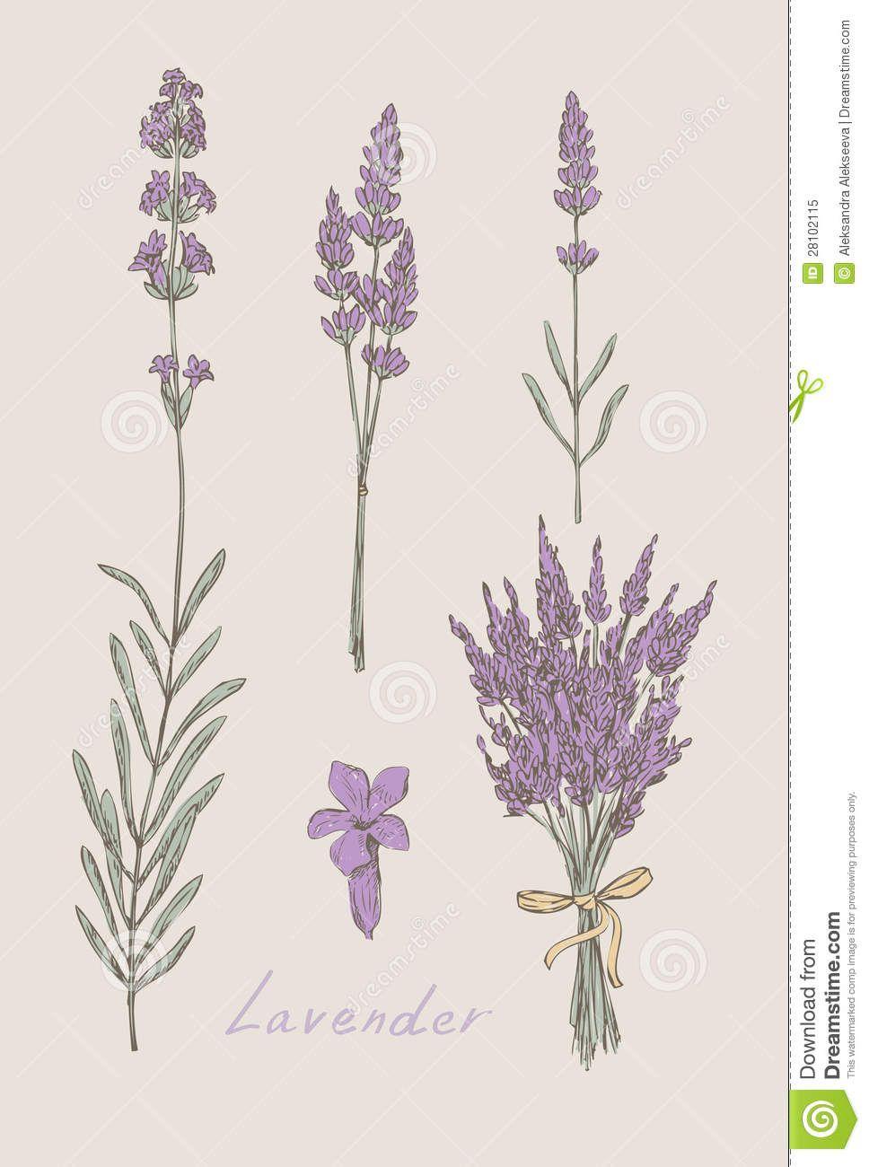 Botanical Flower Line Drawing : Lavender botanical drawing google search musings