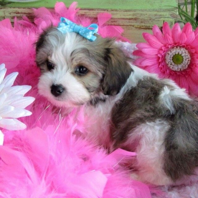 Cavachons By Design My Aunt Breeds These Dogs And I Have One Myself And They Are The Cutest Best Behaved Dogs Cavachon Puppies Cavachon Puppy Portraits