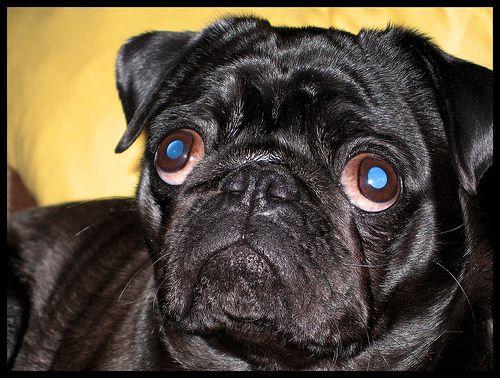 Inside Puppy Dog Eyes Puppy Eyes Pugs