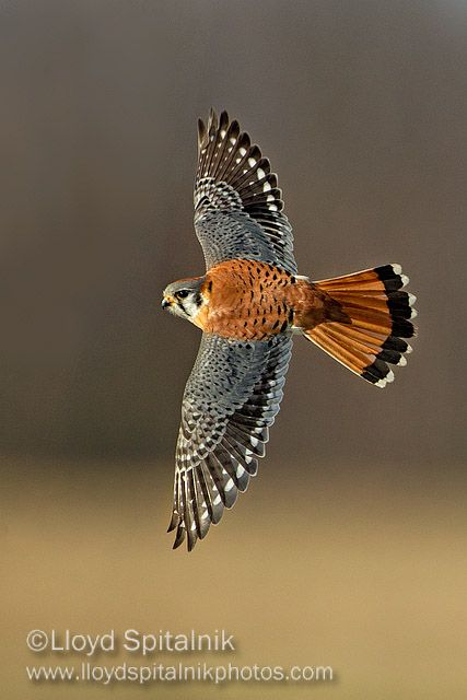 A Kestrel Can And Does Hover In The Dead Calm Of Summer Days When There