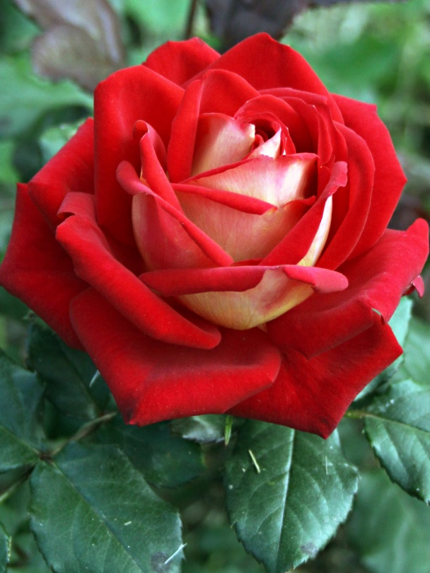Beautiful Whatsapp Dp Download Hd Google Search Rose Seeds Black Rose Flower Hybrid Tea Roses