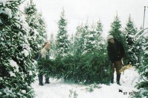 List Of Ottawa S Christmas Tree Farms Christmas Tree Farm Tree Farms Cool Christmas Trees