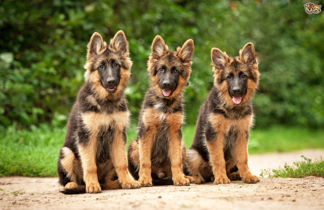 Five universal personality traits of the German shepherd