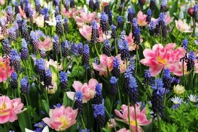 Bulb mix ideas mid spring bulb combinations early spring bulb bulb mix ideas mid spring bulb combinations early spring bulb combinations anemone blanda blue shadesmuscari latifoliumtulip peach blossom mightylinksfo