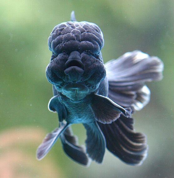lionhead goldfish 1