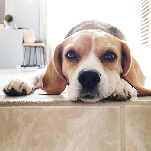 Beagles Will Do Okay In An Apartment If They Get Plenty Of Chances