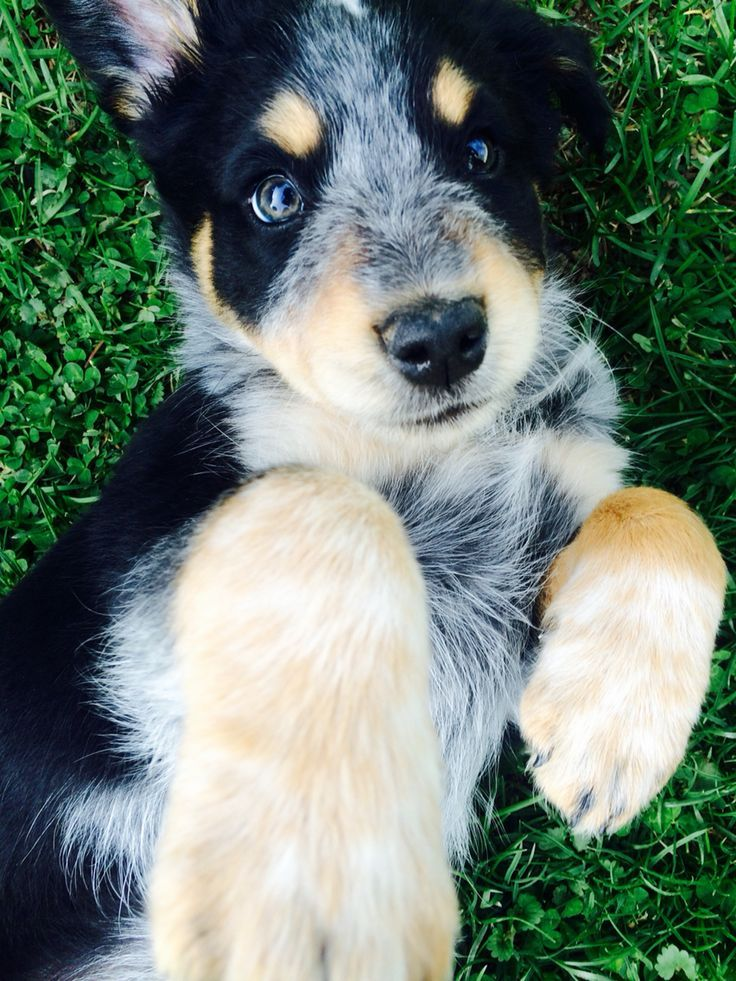 Our Dog Australian Shepherd Blue Heeler Mix Heeler Puppies