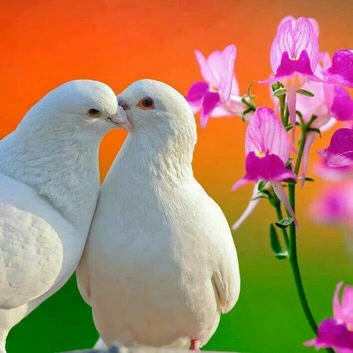 Картинки два голубя в сердцах